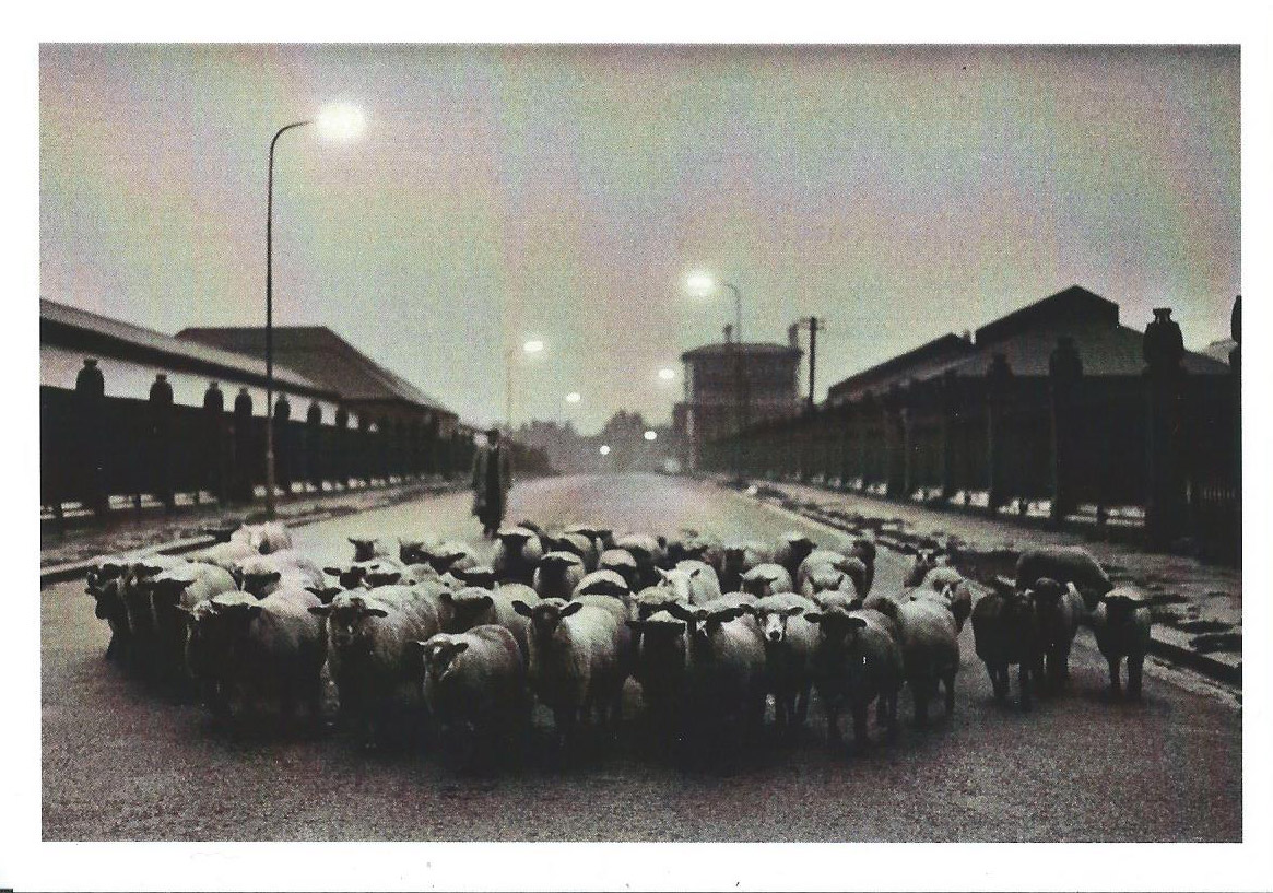 McCullin Sheep 1965